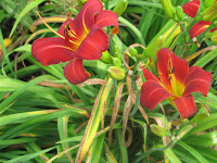 Red day lillies