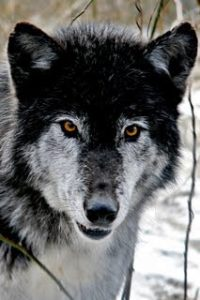 Wolf at the Wolf Sanctuary