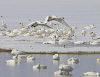 Snow geese in the water