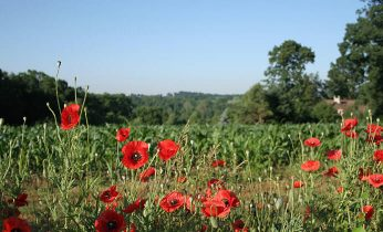 A field of red flowers in Lancaster County PA