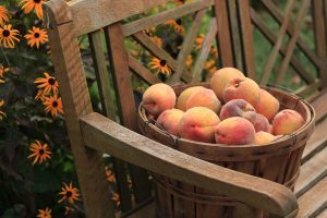 Basket of peaches on a garden bench at our B&B in Amish Country, PA