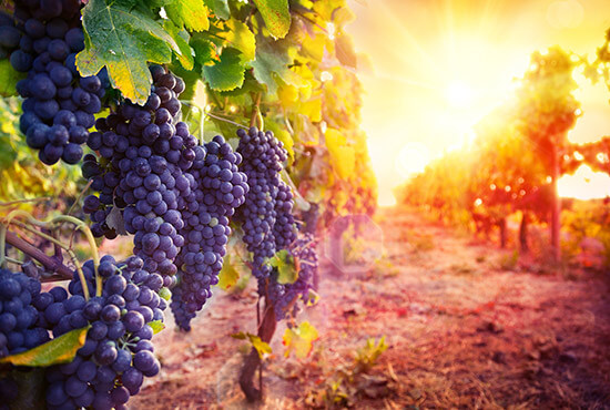 Purple grapes at a vineyard in Lancaster County